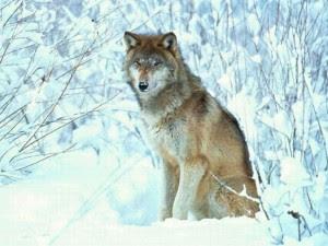 """Cette image est une magnifique photo d'un loup gris qui se tient assis sur son arrière-train hiératiquement dans la neige. Tout est recouvert par la neige autour de ce superbe loup, y compris la végétation dont on distingue à peine les ramures sous l'epais manteau blanc. Il se dégage une impression de calme et de noblesse de l'animal dans ce milieu naturel. Cette image illustre le poeme """"Loup"""" du Marginal Magnifique dans lequel le poete denonce l'expression populaire """"l'homme est un loup pour l'homme"""" dans le but d'expliquer que le loup est un animal bien plus noble que l'être humain. Ce poeme se termine par l'évocation des derniers vers du poeme de Vigny """"La mort du loup"""" qui souligne le courage stoïque des animaux auxquels le Marginal Magnifique s'identifie, plutot qu'a ses congeneres les hommes."""