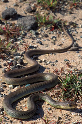 culebra del este Coluber constrictor