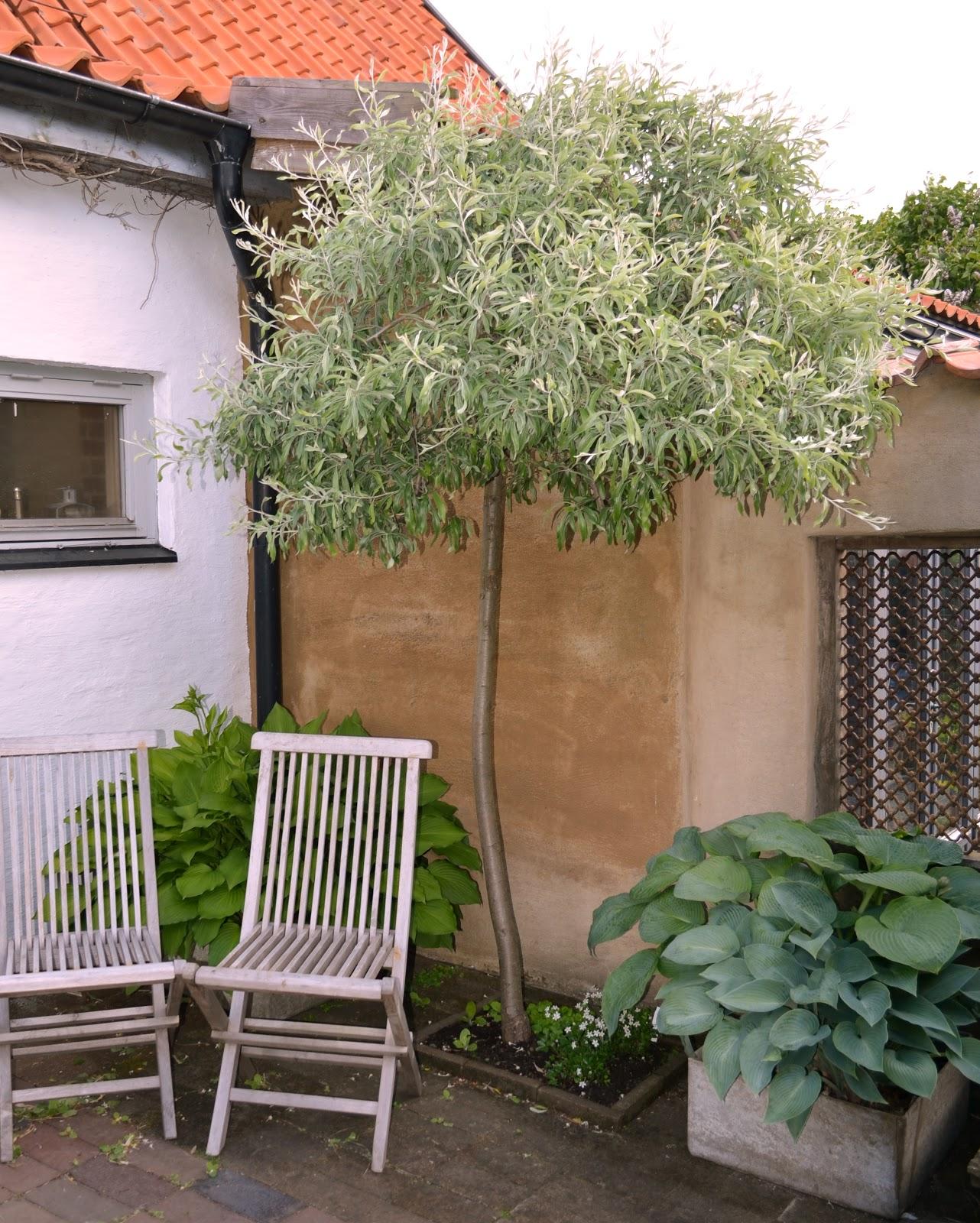 Kungsbacka trädgårdsdesign: nordens olivträd