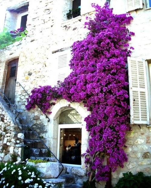 Plantes fleuries grimpantes exterieur for Plantes fleuries exterieur