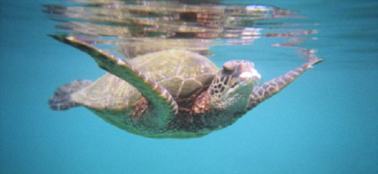 My trip to Maui: Swimming with turtles