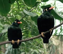 Burung Beo Penghuni Atau Indentitas Di Sumatra Utara