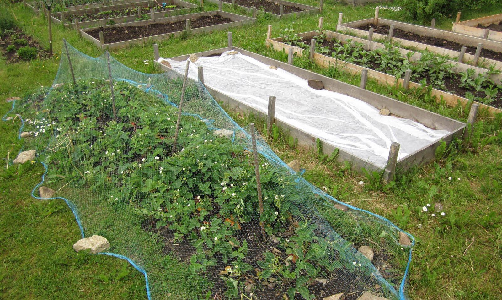 skydda jordgubbar mot fåglar