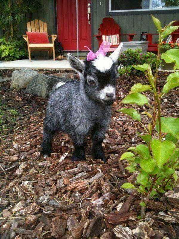 Funny animals of the week - 6 December 2013 (35 pics), cute baby goat