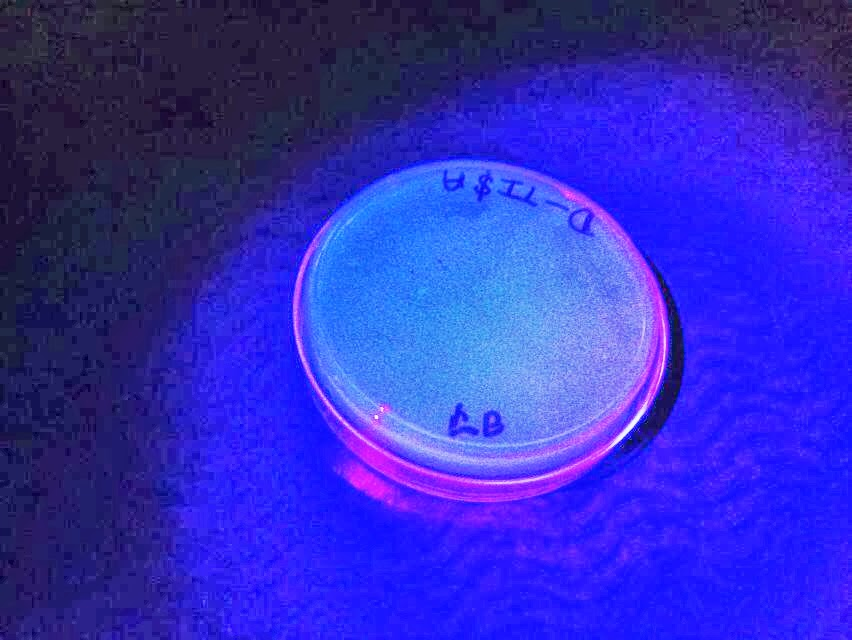 pglo transformation lab write up Biotechnology explorer™ pglo introduction to transformation in this lab genetic transformation occurs when a cell takes up.