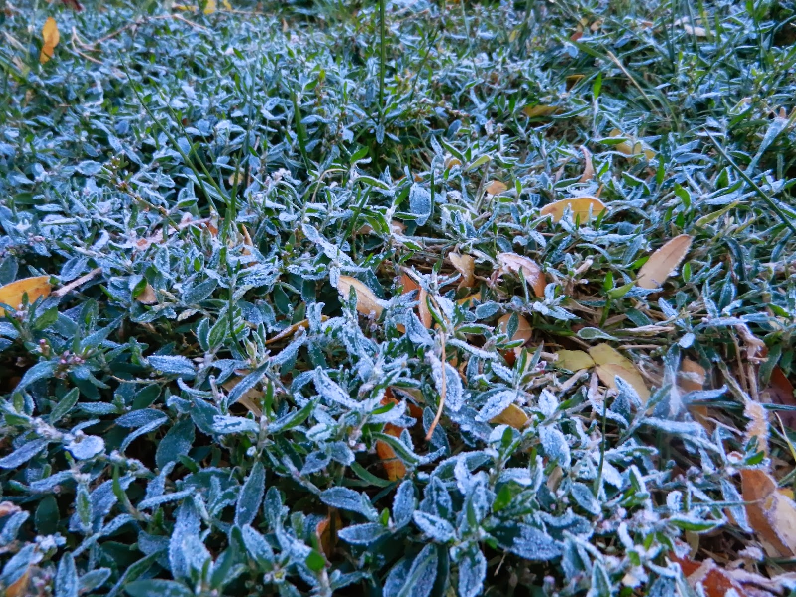 frosted lawn