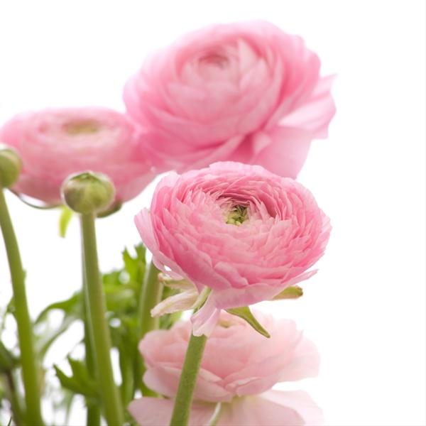 the enchanted petal ranunculus, Natural flower