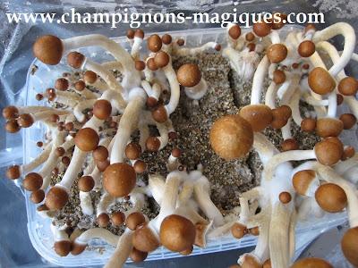 kit de culture de champignons magiques novembre 2013