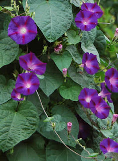 Exotic Ipomoea Purpurea