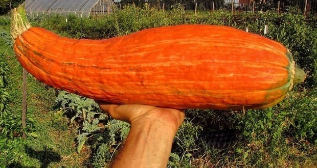 Each squash appears to be roughly the size of a Chipotle burrito.