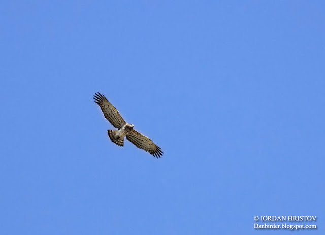 Short-toed Eagle photography