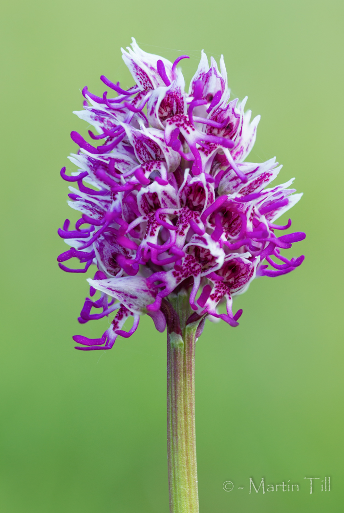 Monkey orchid flower spike