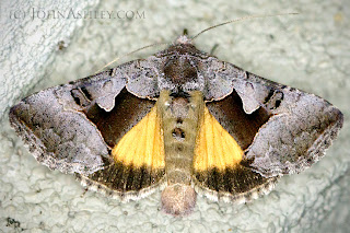 'Syngrapha orophila' moth (c) John Ashley