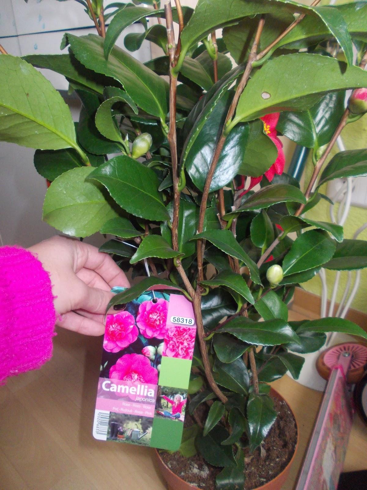 mavi s gartenwelt magnolia susan und camellia japonica rose. Black Bedroom Furniture Sets. Home Design Ideas