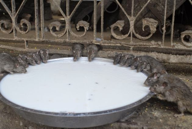 Ratas en el templo Karni Devi