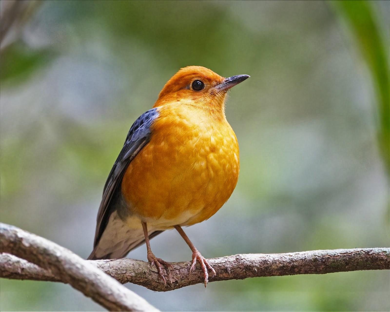 burung lovebird ngekek panjang mp3 burung labet
