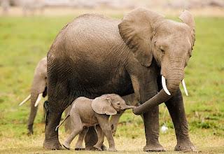 mãe elefante e elefantinho