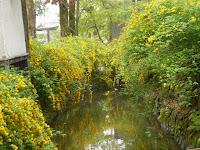 境内の一ノ井川に映える京の春景色