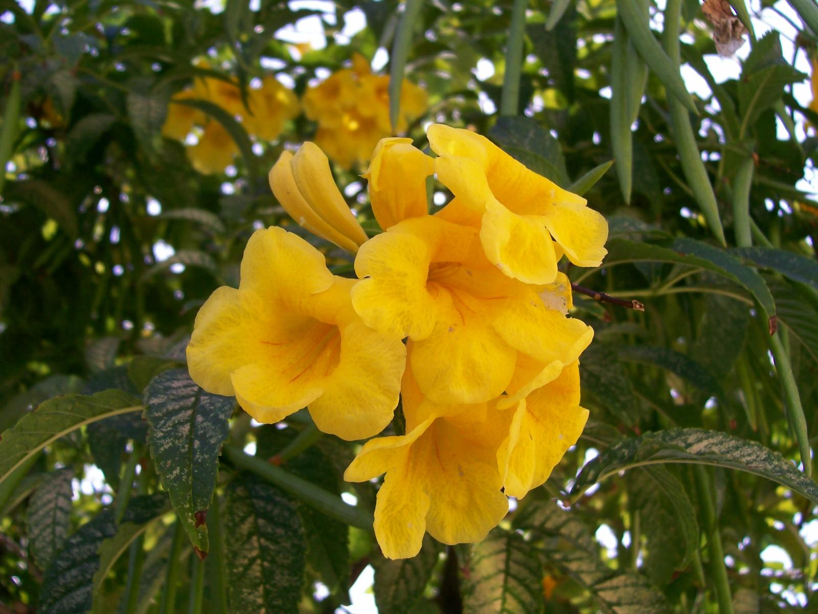 flor de jardim amarela:Flor Amarela Image