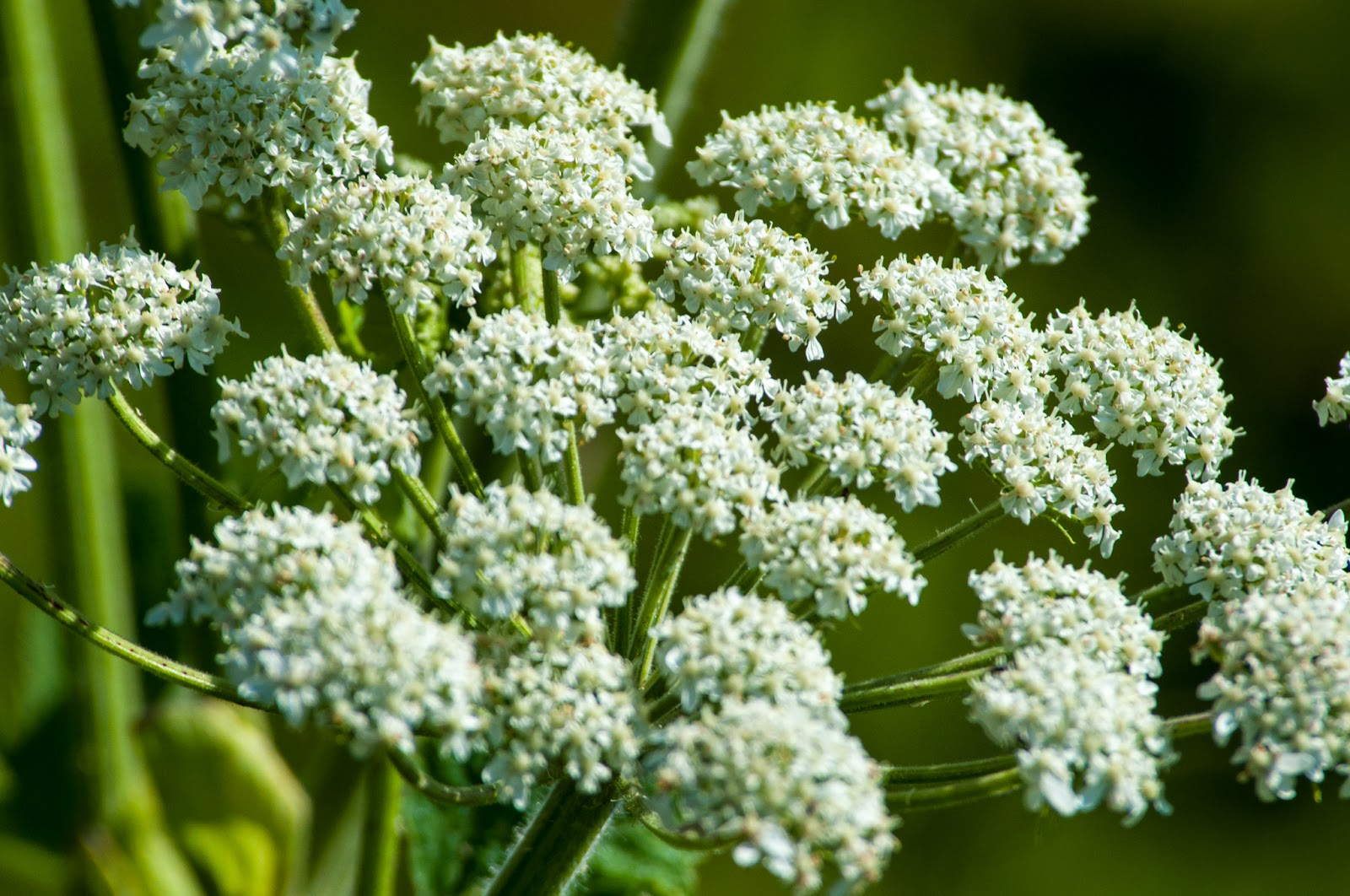 Cow parsnip on the Brush Creek Trail