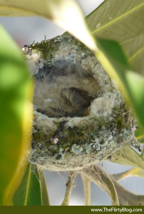 baby hummingbird chicks