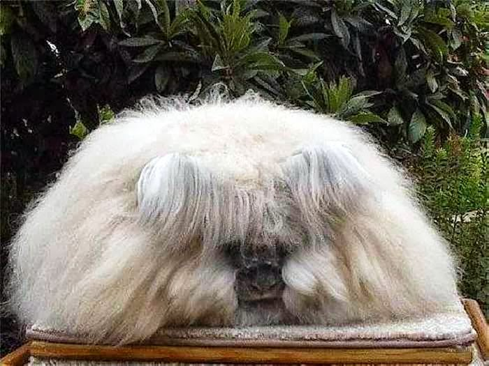 mail2day large fluffy angora breed bunnies 12 pics