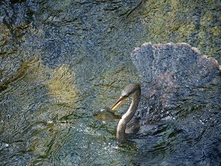 beautiful hd anhinga bird everglades background wallpaper 990x742