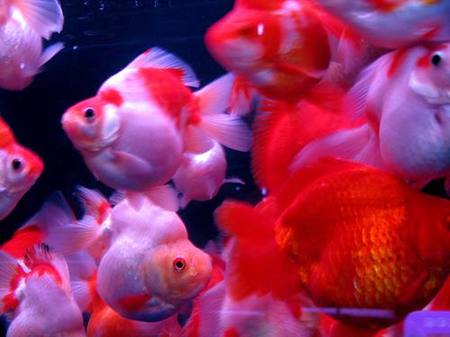 11502555ad9 Japon Balıkları