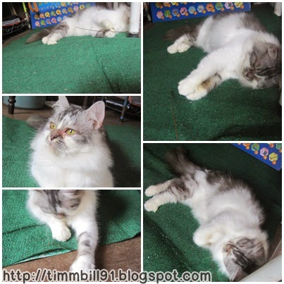 kucing, mastura, domestic longhair cat