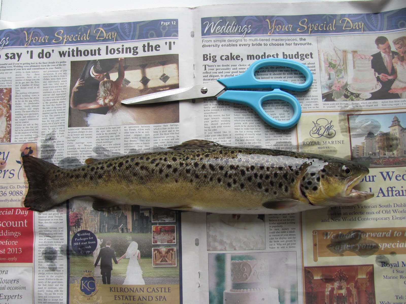 A brown trout on newspaper with scissors for cleaning the fish