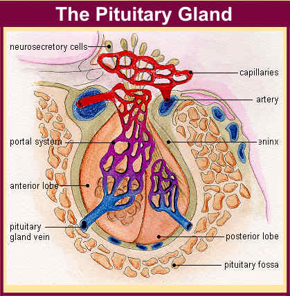 Medical lecture note and Powerpoint slides: Pituitary Gland