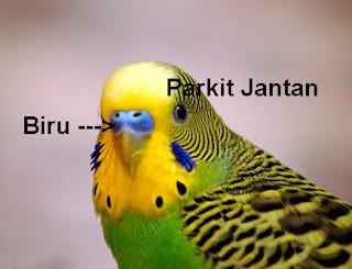 ciri burung parkit jantan