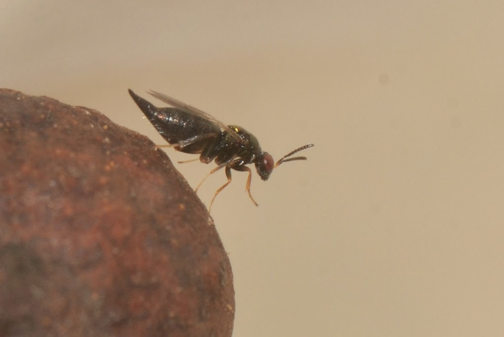 another Blueberry Stem Gall Wasp parasitoid