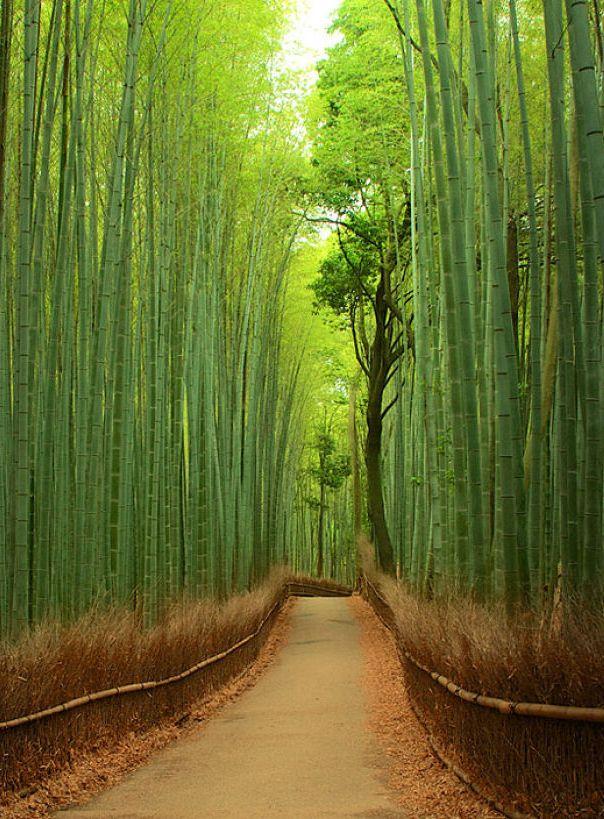 Sagano Bamboo Forest,Arashiyama,Japan