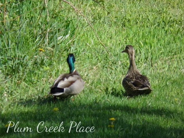 male and female ducks in backyard