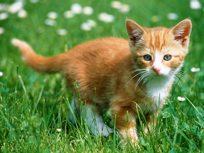 awesome cute orange cat in beautiful green gras wallpaper 1600x1200