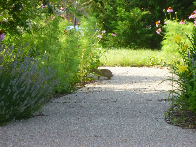 Rabbit on path in Tennessee garden