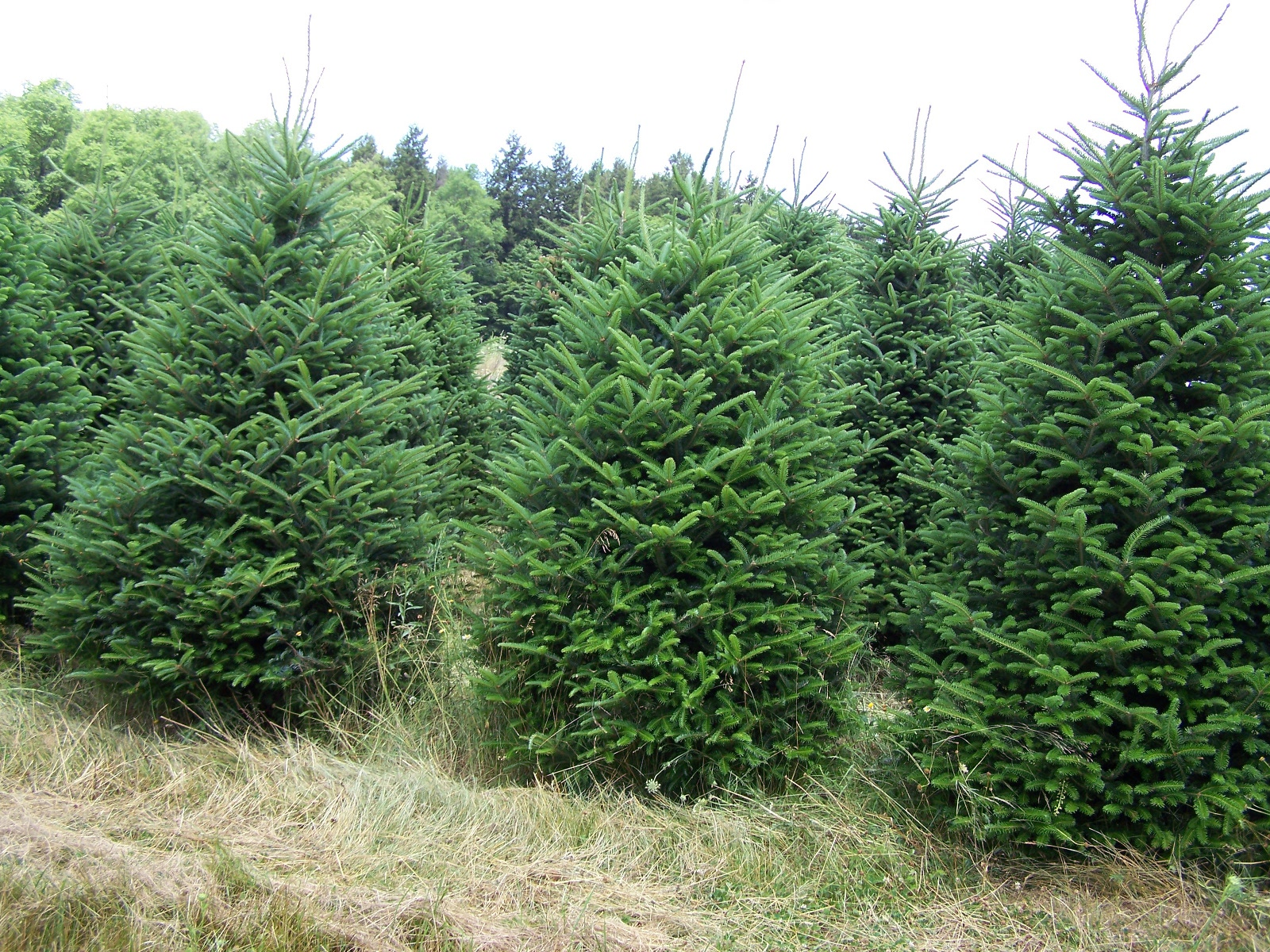 Displaying 19 gt images for names of evergreen trees