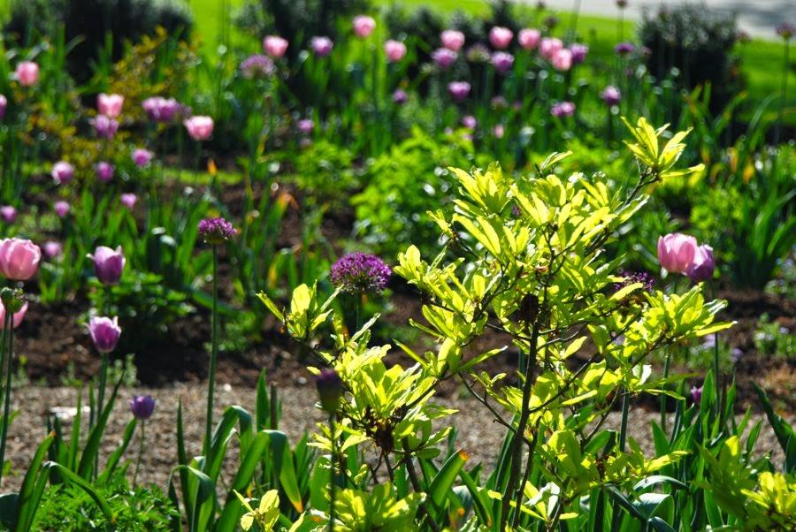 Wife, Mother, Gardener: The Rose Garden in May at Havenwood
