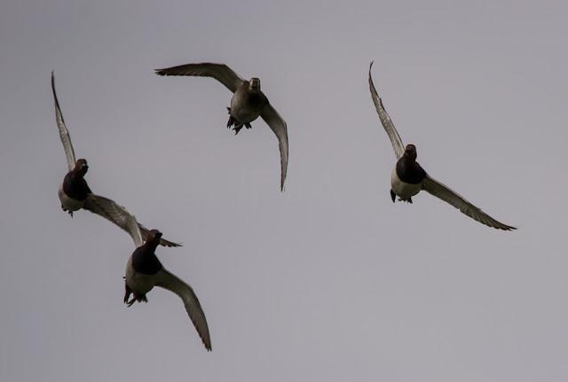 Aythya ferina  porrón europeo  cortejo aéreo