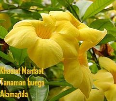 Manfaat Khasiat Tanaman Bunga Alamanda