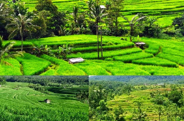Wisata Alam Jatiluwih Bali