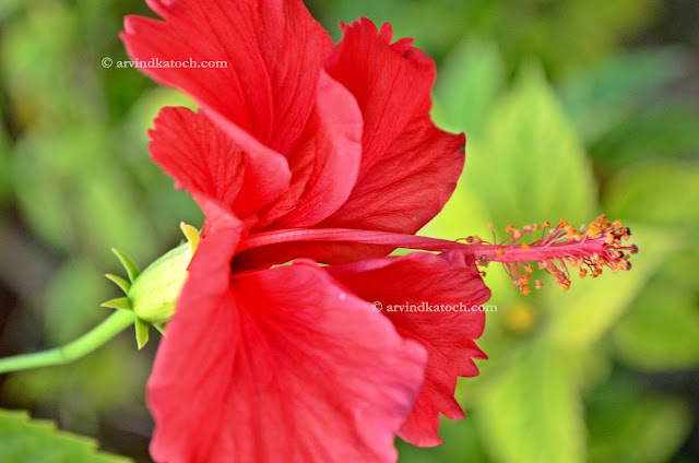 Red Flower, Beauty, Spreading, Beautiful, HD, Hibiscus