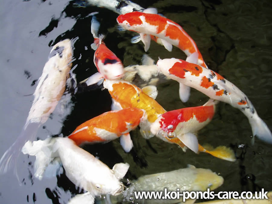 Paranormal and strange world nishikigoi koi carp fish koi for Koi carp fish pond