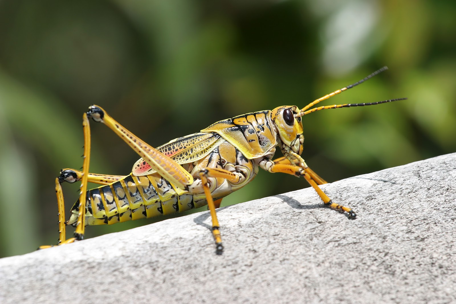 Grasshopper | The Biggest Animals Kingdom