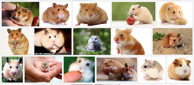 jual hamster jakarta, jual hamster bandung, jual hamster surabaya, jual hamster roborovski, jual hamster jogja, jual hamster kaskus, jual hamster murah, jual hamster depok, jual hamster syrian, jual hamster di jakarta, jual hamster online, jual hamster anggora, jual hamster anggora jakarta, jual hamster albino, jual akuarium hamster, jual anak hamster, jual asesoris hamster, jual aksesoris hamster bandung, jual aksesoris hamster surabaya, jual aquarium hamster bandung, harga hamster angora, jual hamster bekasi, jual hamster bogor, jual hamster bandung 2015, jual hamster bsd, jual hamster ball, jual hamster balikpapan, jual hamster batam, jual hamster bandung murah, jual hamster bandung kaskus, jual hamster cirebon, jual hamster cibubur, jual hamster campbell jakarta, jual hamster ciputat, jual hamster campbell bandung, jual hamster cengkareng, jual hamster campbel, jual hamster cod depok, jual hamster campbell opal, jual hamster china, jual hamster di medan, jual hamster di bekasi, jual hamster di bogor, jual hamster di jakarta barat, jual hamster di depok, jual hamster di bandung, jual hamster di surabaya, jual hamster di semarang, jual hamster eropa, jual hamster golden red eyes, jual hamster golden red eye bandung, jual hamster golden black eye, harga hamster eceran, jual hamster golden red eye surabaya, jual hamster facebook, harga hamster fujiyama, harga funhouse hamster, jual hamster roborovski white face, jual hamster roborovski white face jakarta, jual exercise ball for hamster, jual hamster flip flop, harga hamster flip flop, jual hamster roborovski white face bandung, jual hamster gerbil, jual hamster gresik, jual hamster gre, jual hamster grosir murah, jual hamster gre jakarta, jual hamster grosir bandung, jual hamster grosir tangerang, jual hamster hybrid, jual hamster hias, jual hamster hamil, jual harness hamster, harga hamster hamtaro, harga hamster hybird, jual kandang hamster habitrail, jual hamster long hair, jual fun house hamster, jual hamster sy
