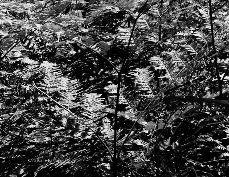 black and white photography of fern