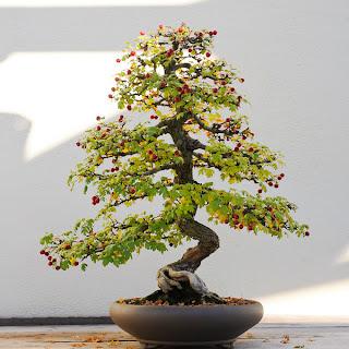 Bons i crataegus sanzashi cuidados verde jard n - Cuidado del bonsai ...