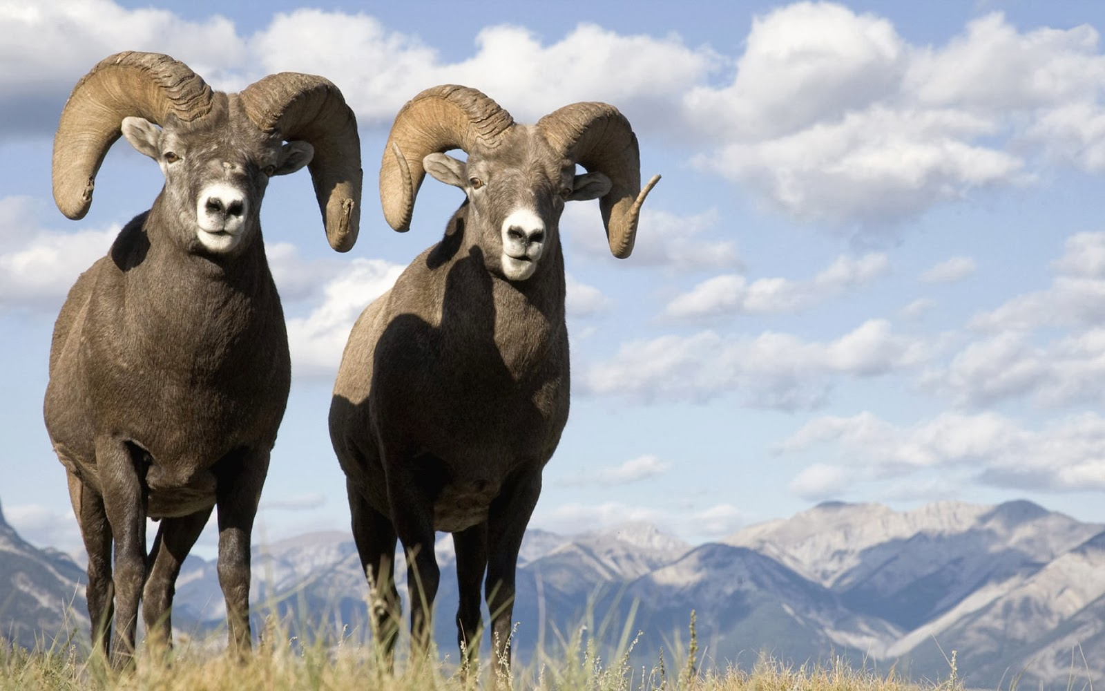 Bighorn Sheep Wallpapers