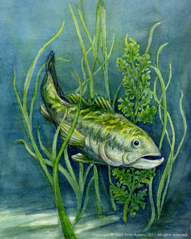 Heidi Emily Adams Illustration: Largemouth Bass... and a Lesson on ...
